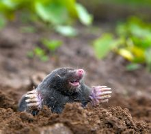 Mole in ground. Real picture