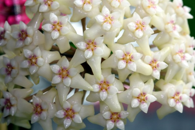Hoya pottsii 'sp. Thailand' IML1336 Photo Taken January 8, 2013