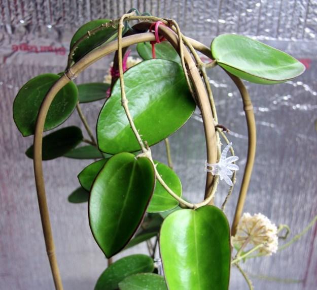 Hoya pottsii 'sp. Thailand'