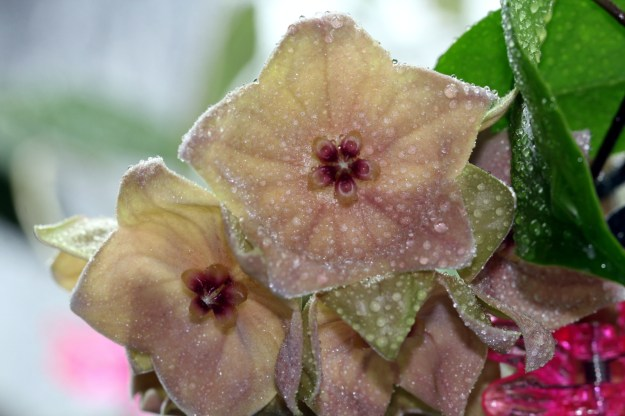 Hoya megalantha with Mountain Raindrops created with a Spray Bottle!