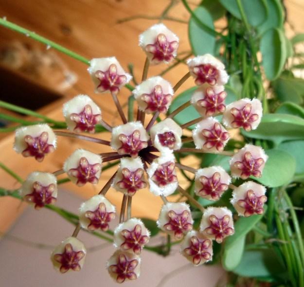 Hoya brevialata - single peduncle with blooms - April 2013