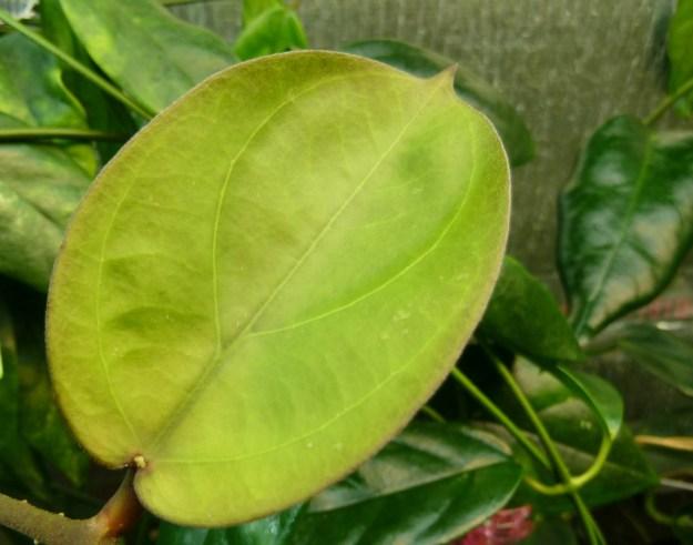 Newly emerged Hoya lambii Leaf April 2013