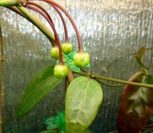 Hoya cv. Kamuki developing buds April 2013