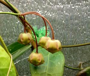 Hoya cv. Kamuki