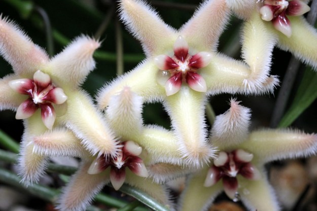 Hoya buotii - One Incredible Flower!