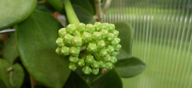 Hoya pachyclada Buds - July 2013