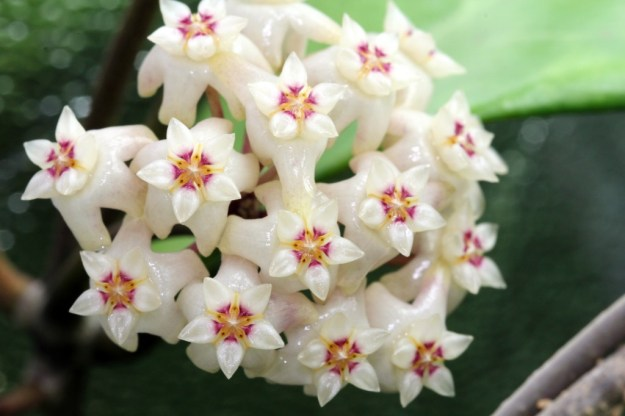 Hoya ridleyi Flower Photo #2 - November 2013