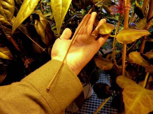 Hoya waymaniae Peduncle - A Real Handful!