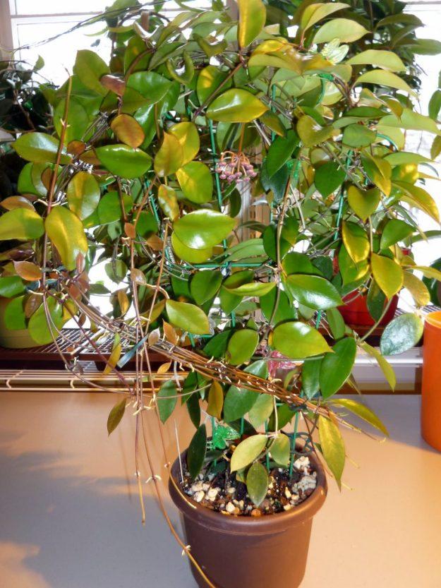 Hoya halophila (IML 1116) Showing Entire Plant