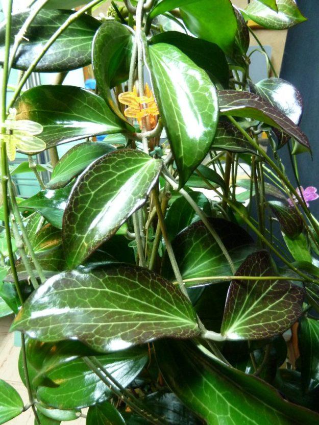 Hoya pottsii 'Coopers Creek' IML 0353 foliage