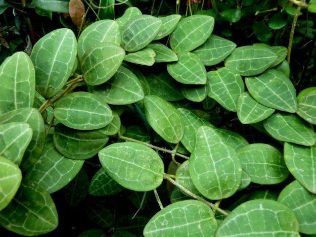 A Sea of Turtles - Hoya elliptica Leaves