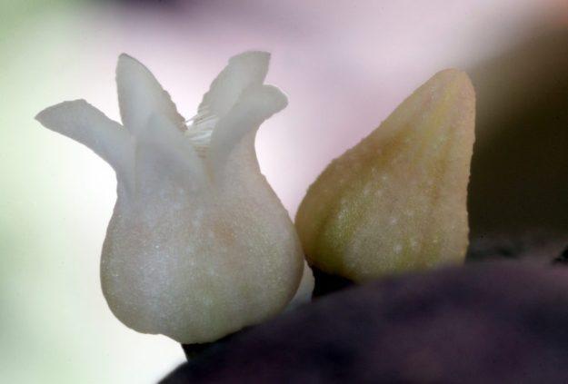 White Tulips on Mars - Dischidia nummularia variegata Late March 2014