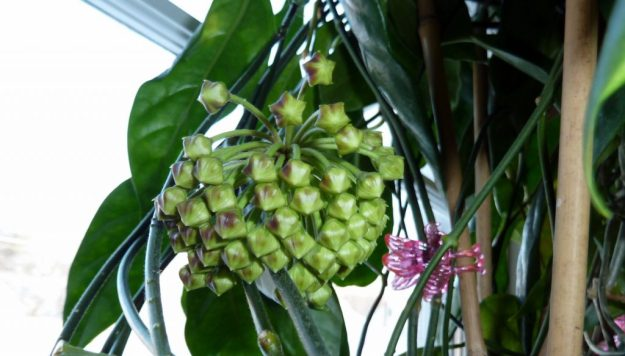 Let's Here It for Bud Growth - Hoya coriacea April 17, 2014