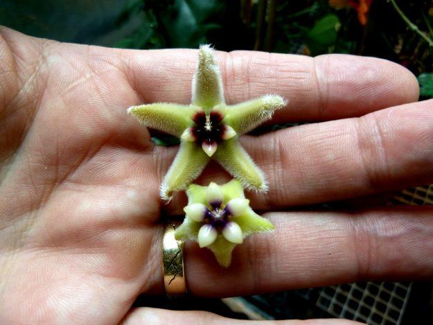 Hoya halconensis on Top Hoya coriacea on the Bottom - May 2014