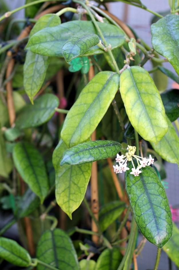Hoya globulosa 071014c