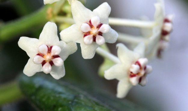 Hoya globulosa 071014d