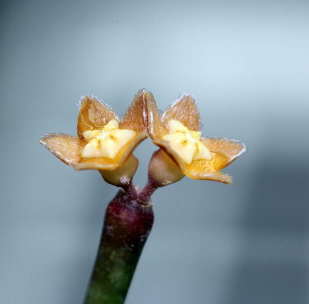 Hoya spartioides 080114a