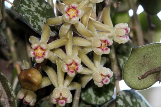 H. curtisii Flowers 3