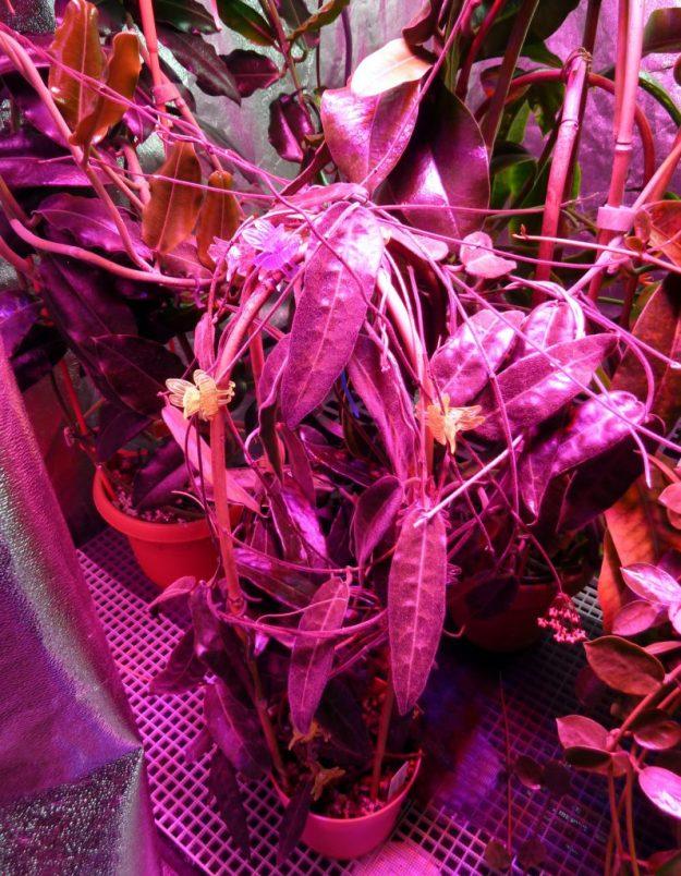 Hoya hypolasia under the LEDs
