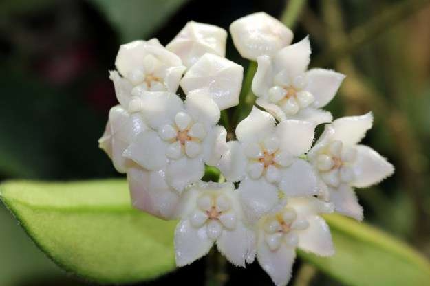 Hoya thomsonii 110814a