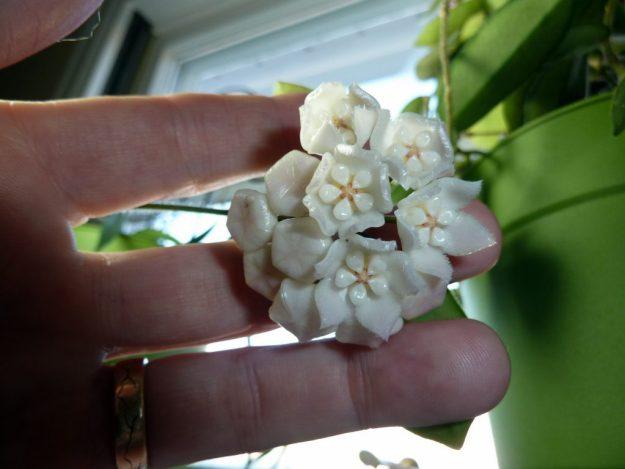 Hoya thomsonii 110514
