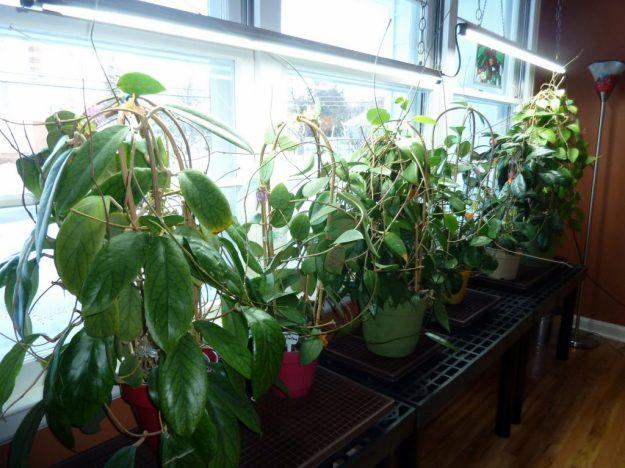 Dining Room Plants December 2014