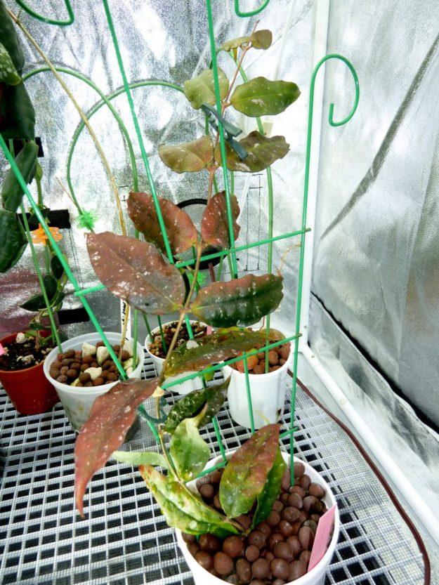 Hoya ignorata Showing Plant