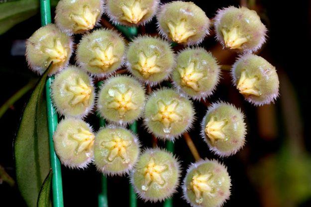 Hoya mirabilis 010615
