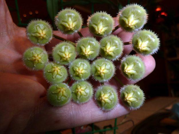 Hoya mirabilis 010615e