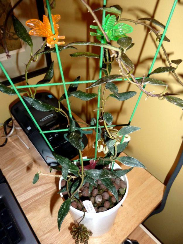 Hoya mirabilis 010615b