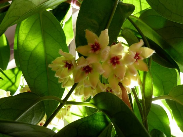 Golden Sun Through Hoya halconensis Flowers - January 2015