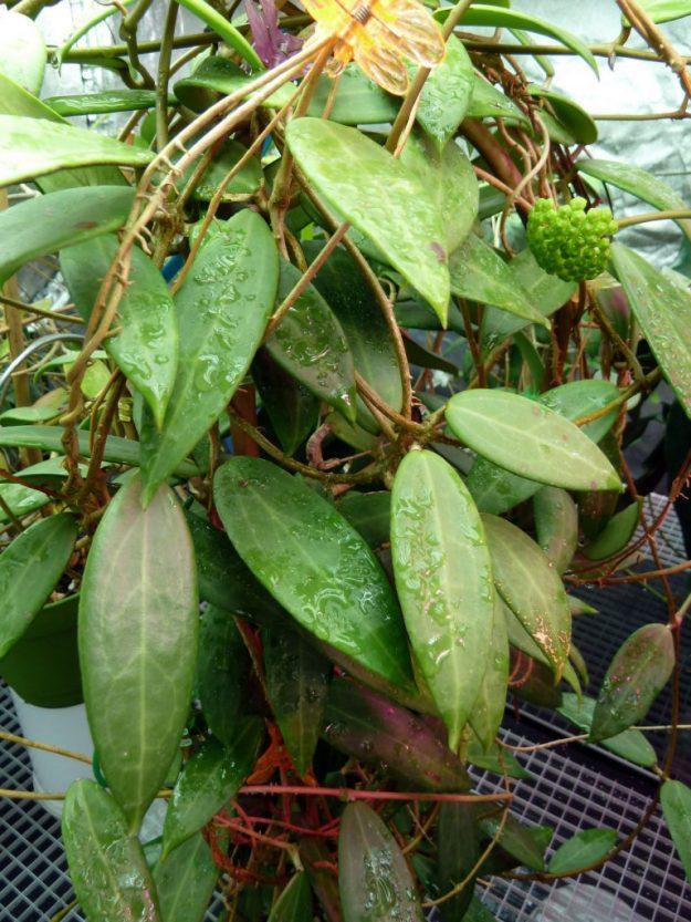 Hoya sp. East of Thailand SRBR-JSNwf (SRQ 3159) Leaves