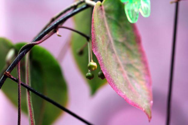 Peek-a-boo Buds; Hoya inflata - March 2015
