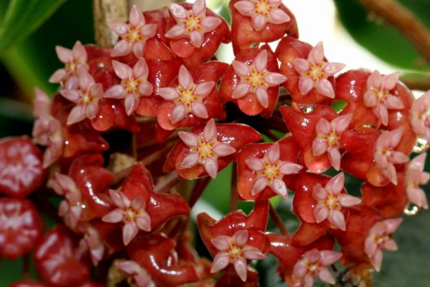 Hoya ilagiorum 040115