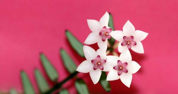 Pretty on Pink - Hoya engleriana; March 2015