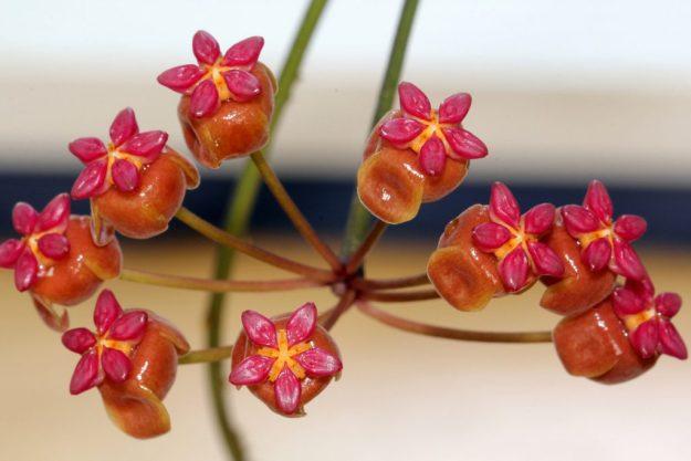 Hoya soligamiana 060415a
