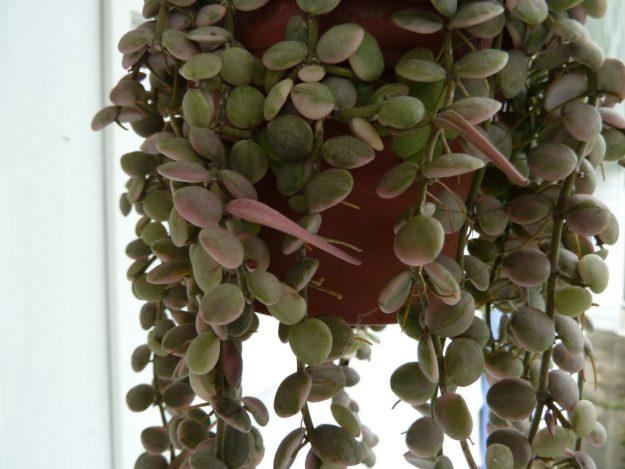 Dischidia nummularia variegata 051615a