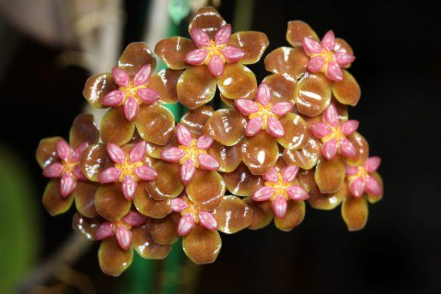 Hoya soligamiana 061515b