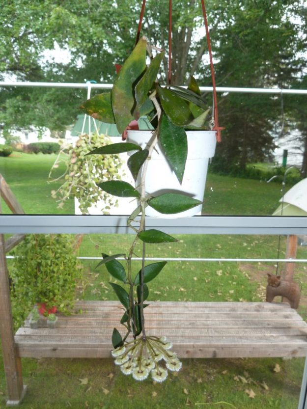 Hoya mirabilis Clone A 080115