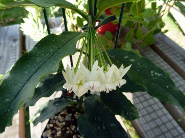 Hoya lockii 081215a