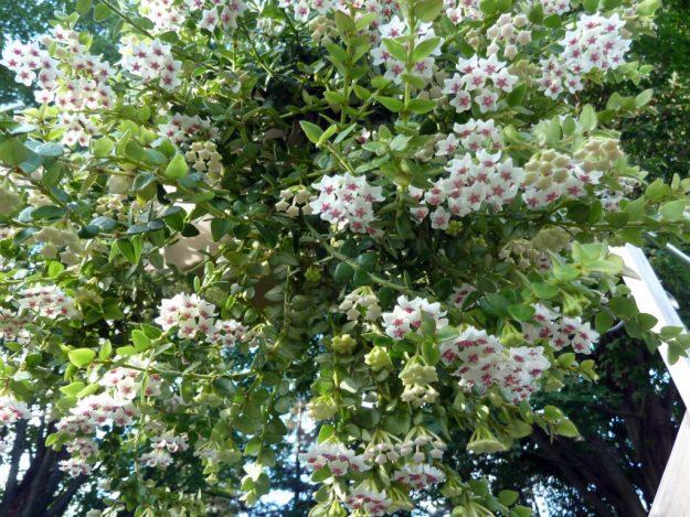 Hoya chinghungensis 080415a