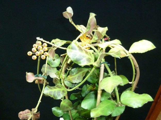 The Rippled Leaves of Hoya waymaniae (IML 1756)