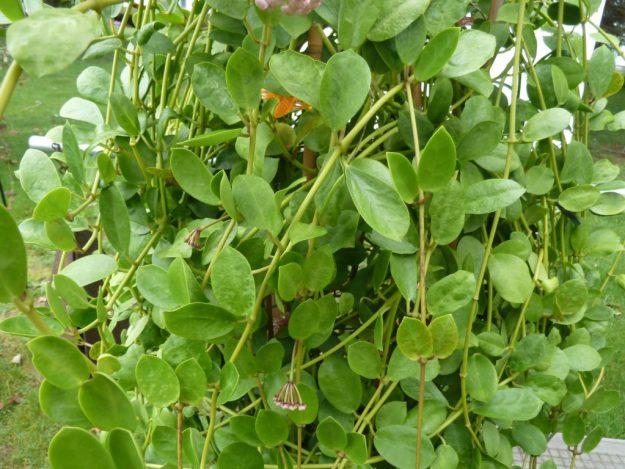 Hoya wightii sub. palniensis 091315a