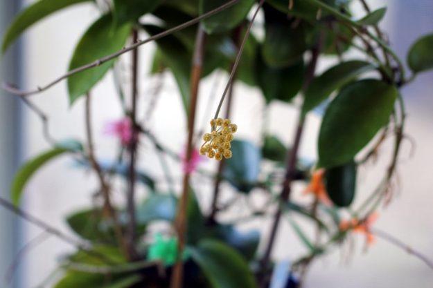 Hoya benitotanii 100115a
