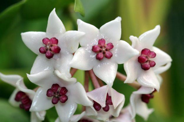 Hoya wightii ssp palniensis 091815