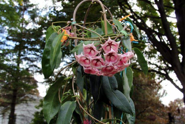 Hoya archboldiana 102315a