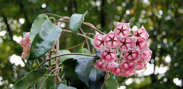 Hoya archboldiana 102315b