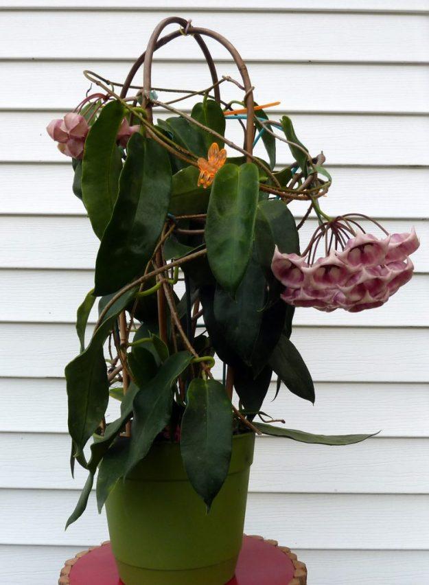 Hoya archboldiana 102815