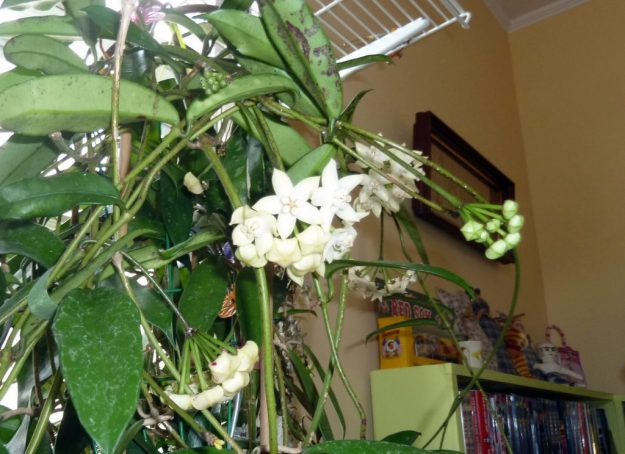 Hoya griffithii 111215