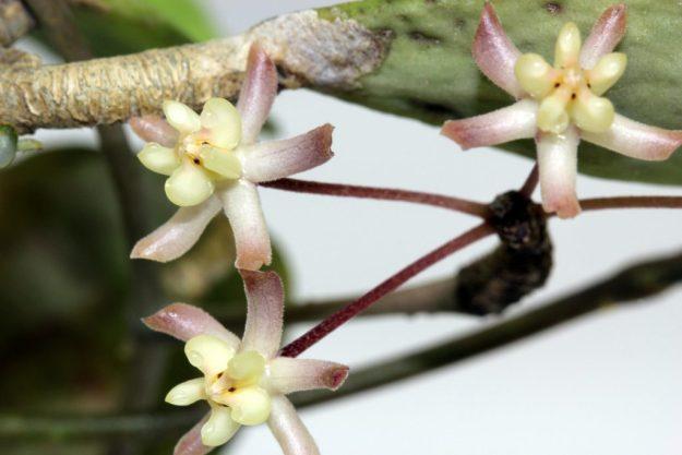 Hoya padangensis 122215b